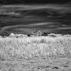 Beach Grass, Truro, MA thumbnail